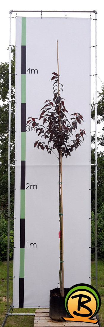 Prunus Royal Burgundy